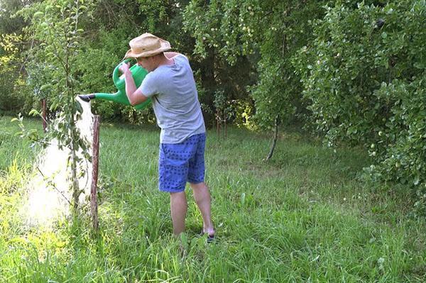 полив молодых деревьев