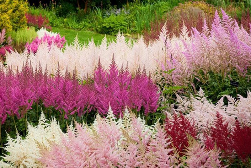 пышно цветет астильба