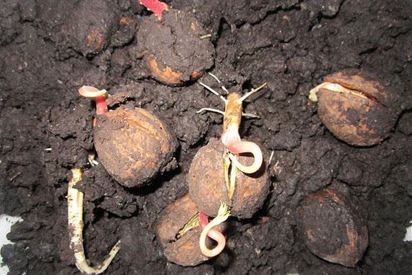 пробиваются ростки орехов