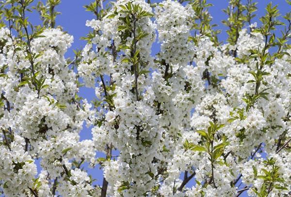 пышное цветение алычи
