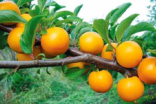 растение Кавказа - алыча