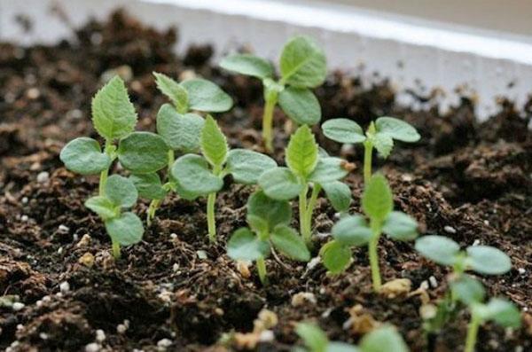 размножение актинидии семенами