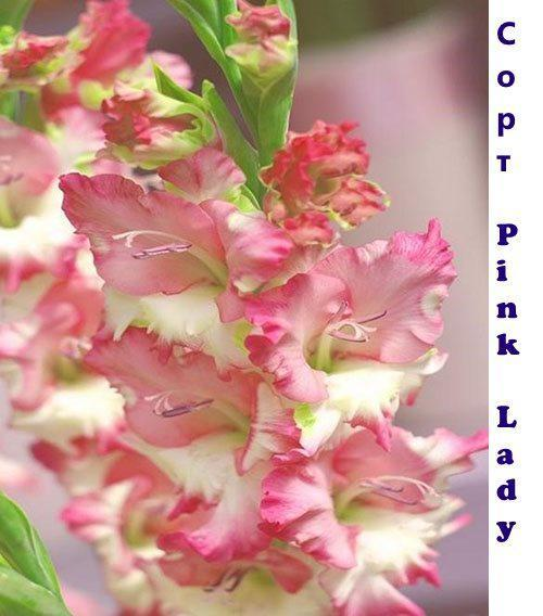 Розовый гладиолус Pink Lady