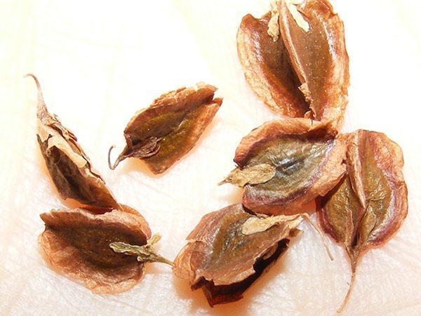 семена ревеня