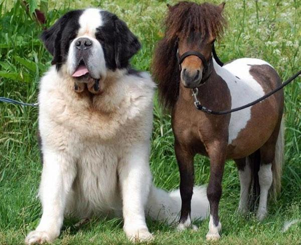 собака и карликовая лошадь