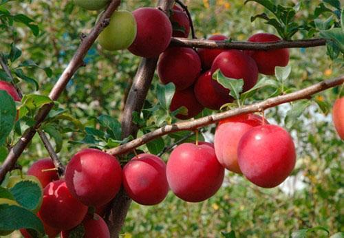 созревают плоды алычи