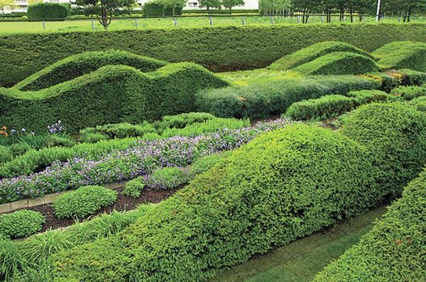 стены из невысоких кустарников