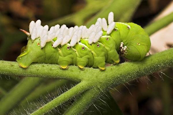 томатная гусеница с личинками осы на спине