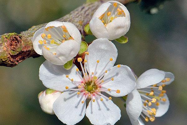 строение цветка алычи