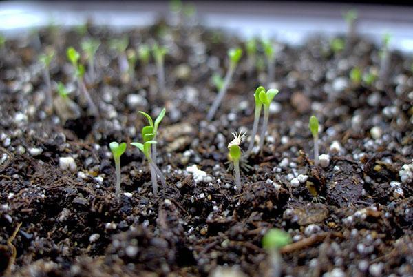 всходы семян астр