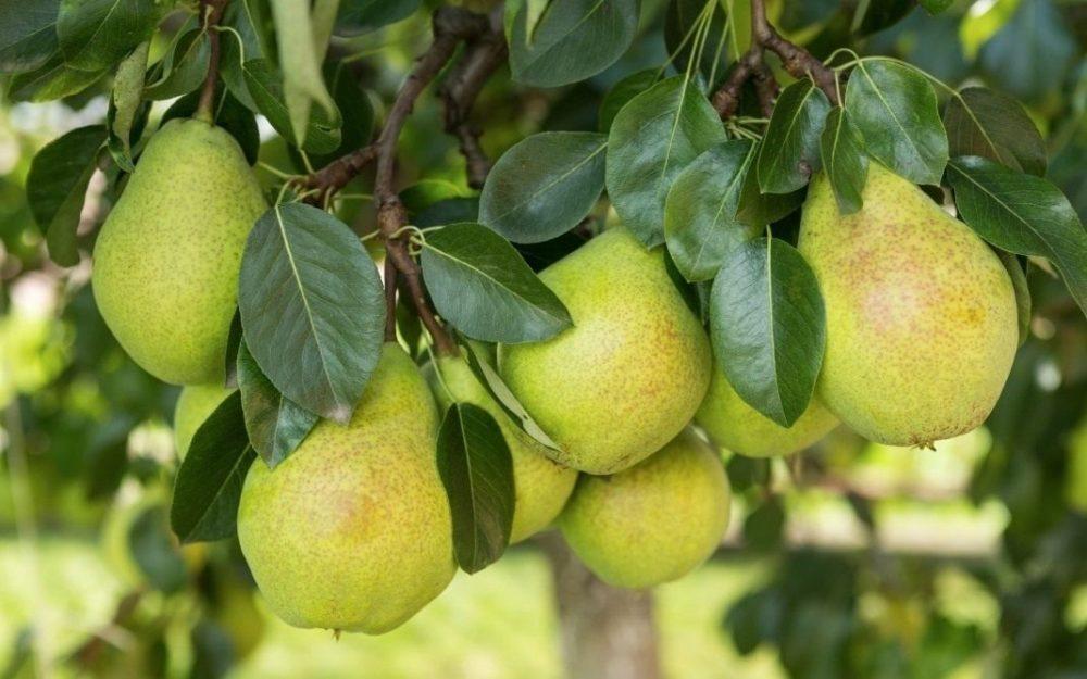 выбор сорта груши для сада