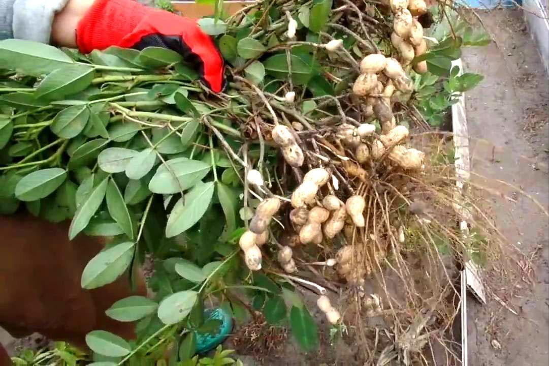 выращивание арахиса на даче