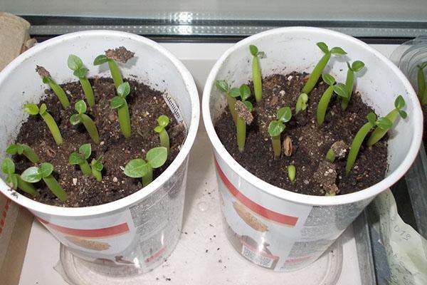 выращивание при высокой температуре и влажности