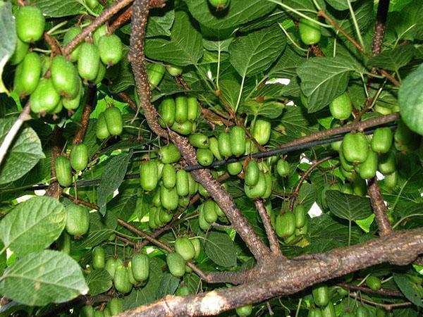 высокая урожайность актинидии
