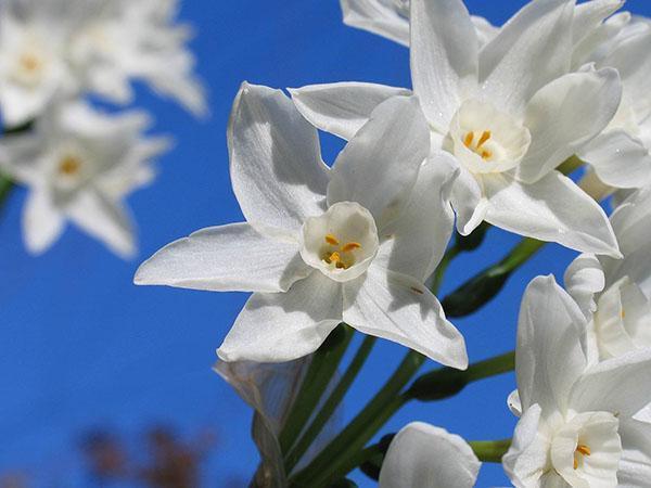 Нарциссы — посадка и уход в открытом грунте, правила выращивания