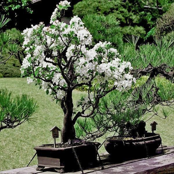 бонсай сакура в саду