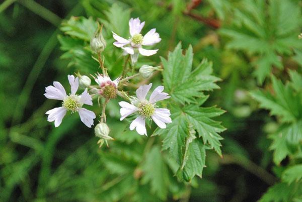 Цветение ежевики Evergreen Thornless
