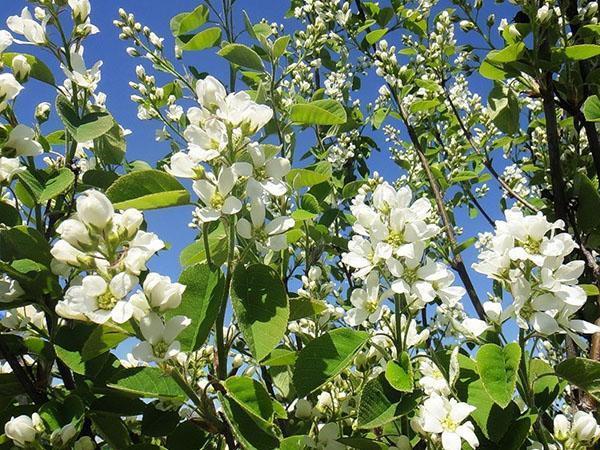 цветение ирги канадской