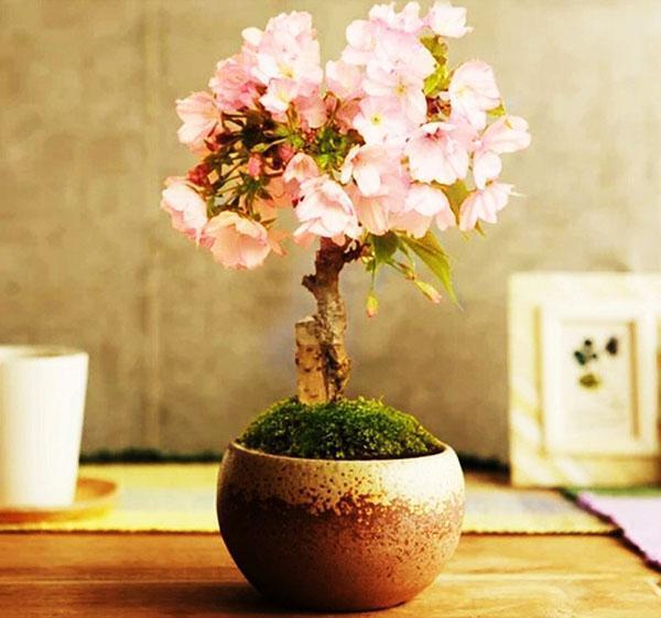 цветение молодого бонсая сакуры