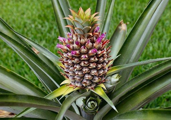 цветет ананас