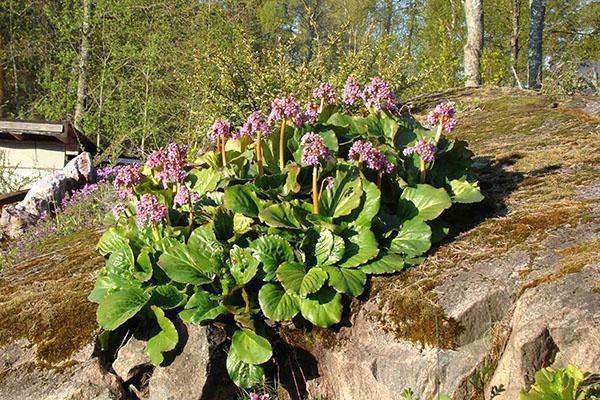 цветет бадан