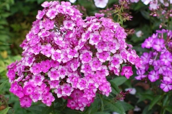 цветут многолетники на даче
