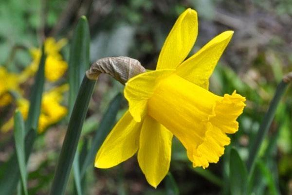 цветут нарциссы на клумбе
