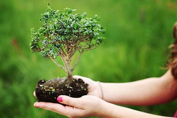 бонсай - дерево в миниатюре
