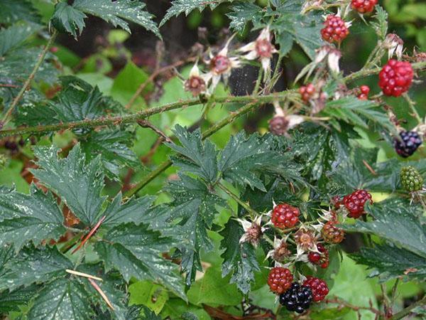 Фото ежевики разрезной (Rubus laciniatus)