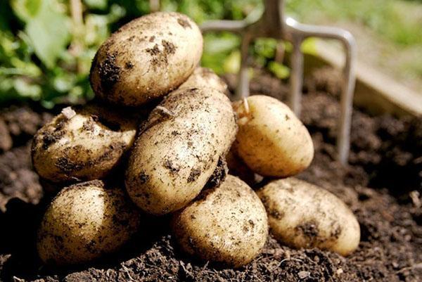 горчичный жмых для картофельных грядок