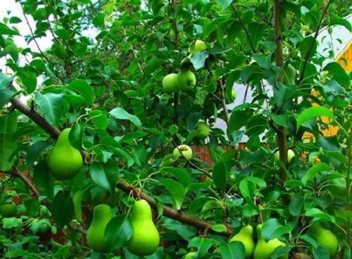 груша-яблоня