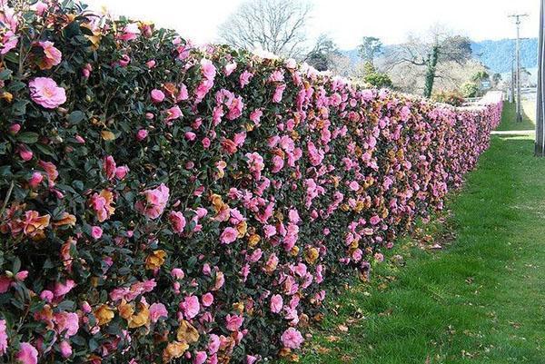 изгородь из парковых роз