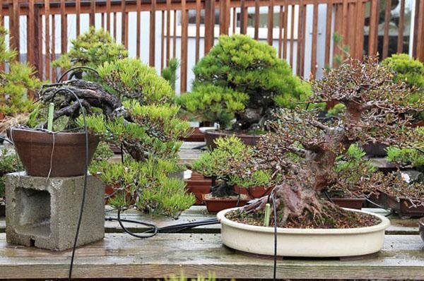Как можно вырастить бонсай из семян в домашних условиях