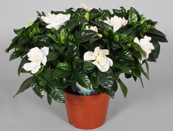 Домашний цветок жасмин как за ним ухаживать