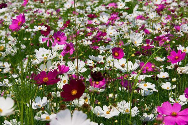 крупные цветы космеи