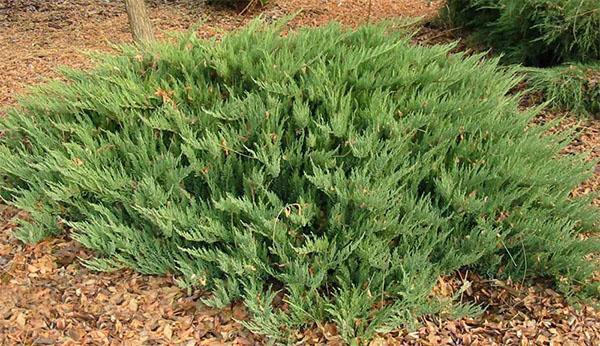 можжевельник сорт Tamarischifolia