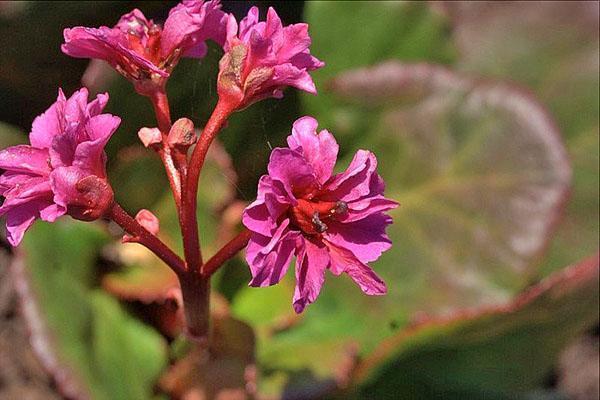 Махровые цветки садового бадана Abendglut