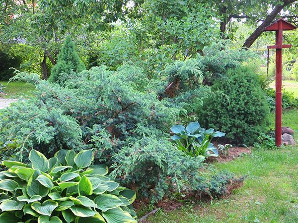 можжевельник Блю Альпс в саду