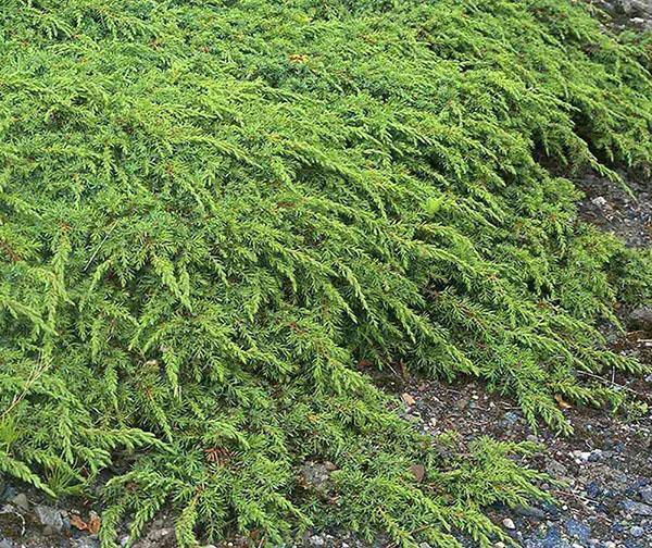 Можжевельник обыкновенный Green Carpet
