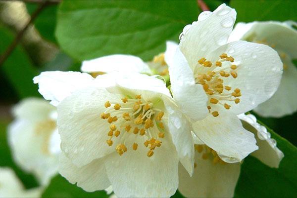 нежное цветение жасмина