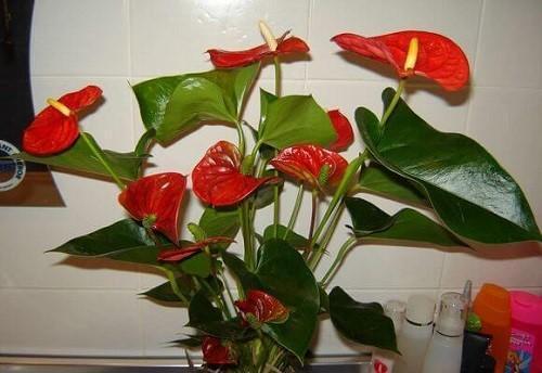 обильно цветет антуриум