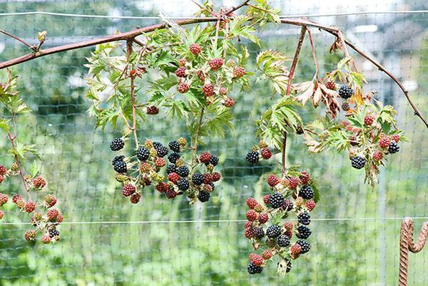 урожай ежевики в северных регионах