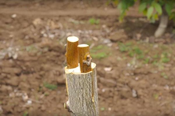 перепривика молодого ореха