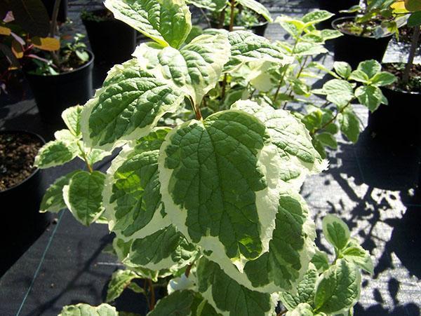 пестрая листва чубушника