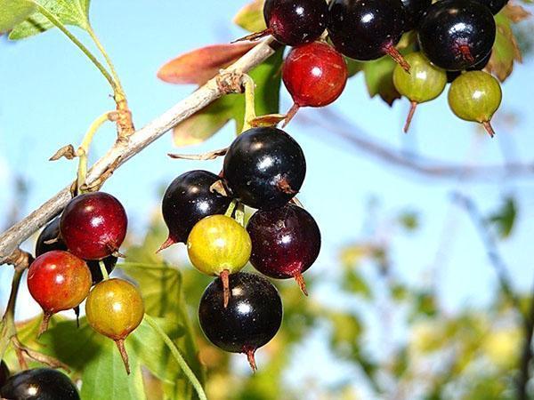 плоды смородины золотистой
