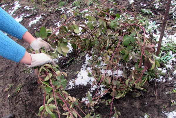 подготовка ежевики к зиме