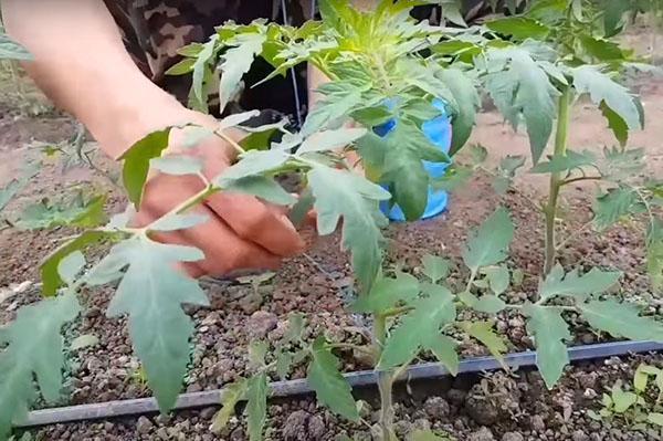 подвязка томатов теплице