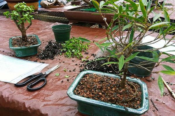 процесс выращивания бонсая