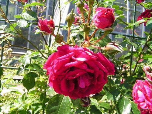 роза гамбургер феникс
