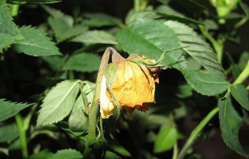 Почему у розы сохнут бутоны не распустившись